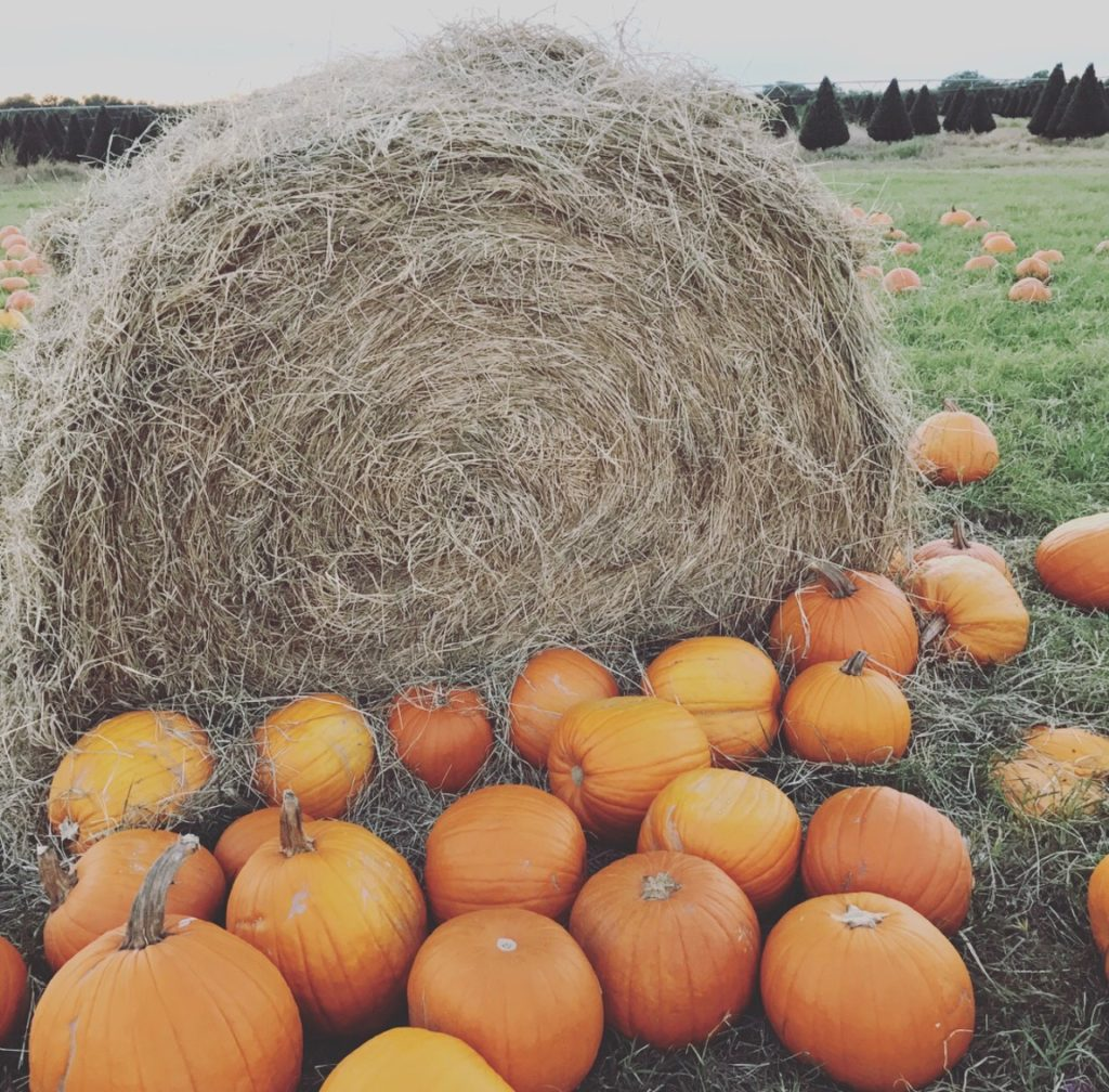 Pumpkins at Dewberry Farm